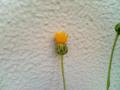黄色い集合花