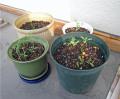 種まき3週間後